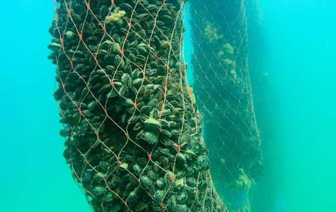 Выращивание мидий и устриц в чёрном море 90